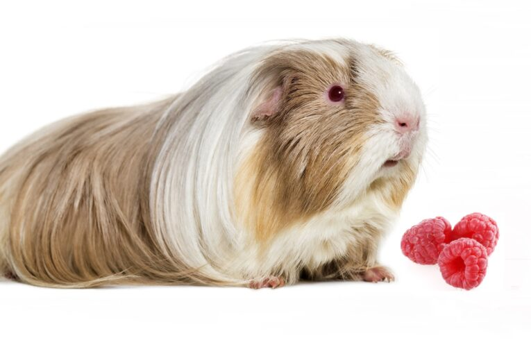 Can guinea pigs eat raspberries Archives - Guinea Pigs