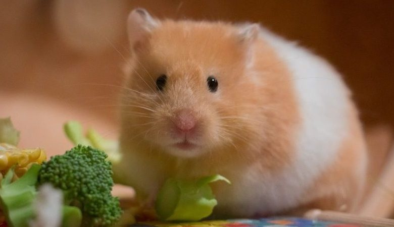 Can Hamster Eat Cucumber Skin? 6 Best Recipes