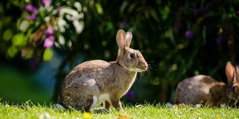 Can Rabbits Eat Plums? - Petsolino