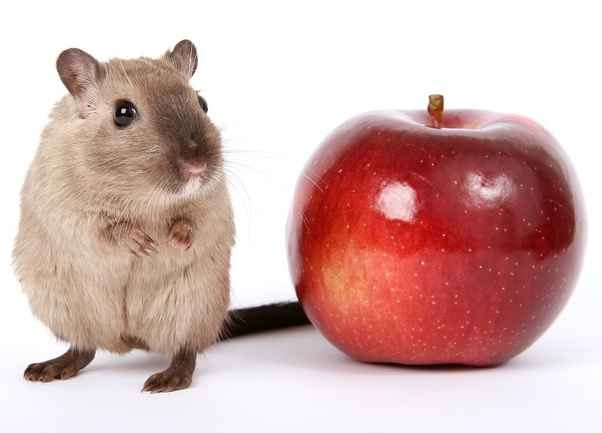 Can Rats Eat Apples off Trees and How Much? - Basic Rat