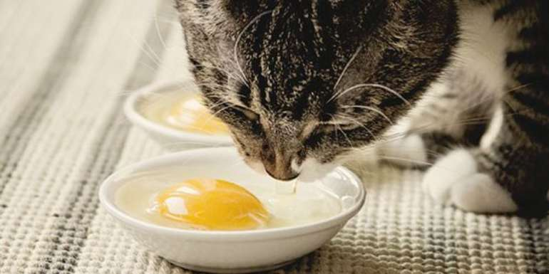 Can Cats Eat Raw, Scrambled, Boiled or Cooked Eggs?   Pet Care ...