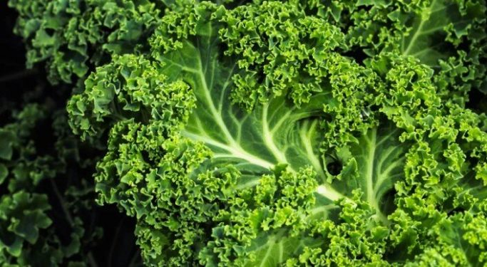 Can Rabbits Eat Kale Including Curly Kale? | Pet Care Advisors