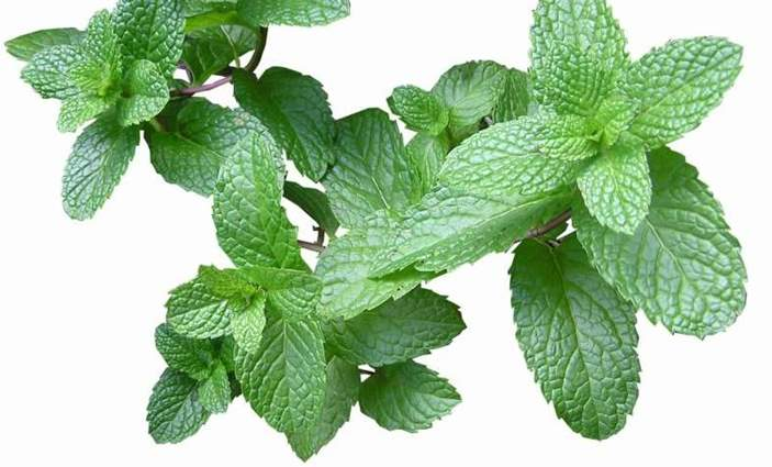 Can Rabbits Eat Mint – Leaves, Flowers, or Stems? | Pet Care Advisors