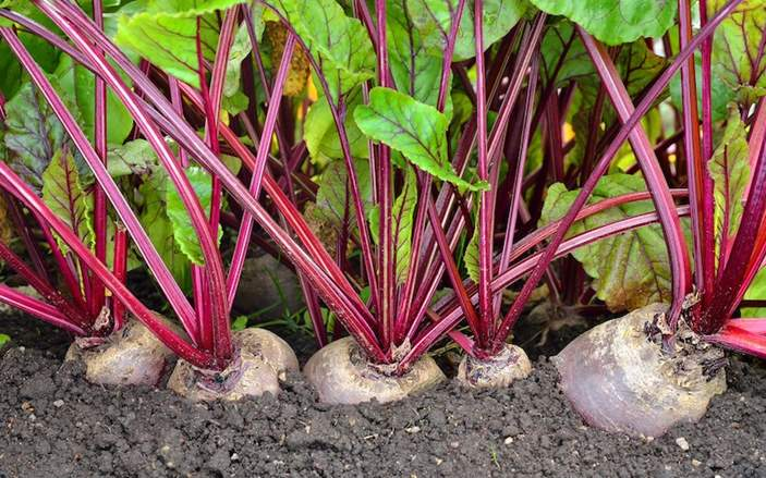 Can Rabbits Eat Beet Greens and Beetroot? | Pet Care Advisors