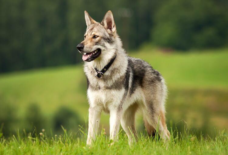 Czechoslovakian Wolfdog/Vlcak   Native Breed.org