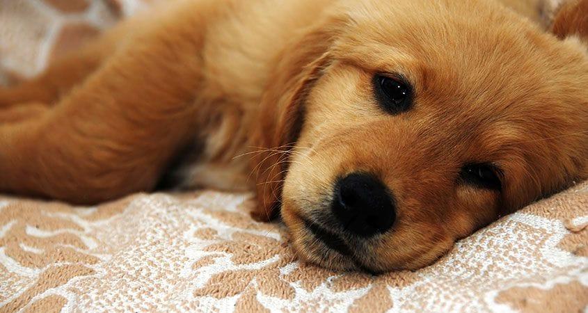Diarrhea In Dogs   Cesar's Way