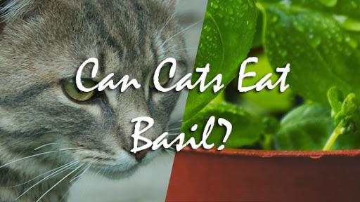 Can Cats Eat Basil? | Pet Consider