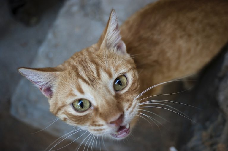 Why Does My Cat Yowl After Eating? - Catster
