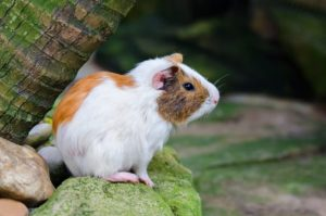 Can Guinea Pigs Eat Brussel Sprouts? Is There Any Danger?