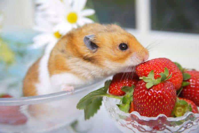 Can Hamsters Eat Strawberries? Find How Much Is Safe For Your Breed