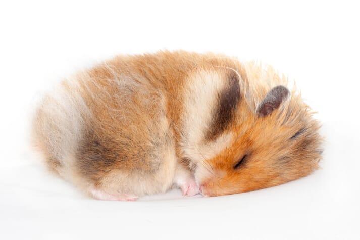 Is my hamster hibernating or dead? | Veterinary Practice