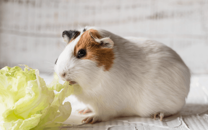 Can Dwarf Hamsters Eat Lettuce? {Critical Facts & Concerns}