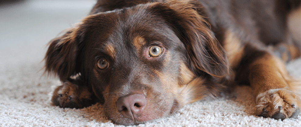 Seizures and Dogs: 4 Important Questions