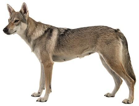 Tamaskan Dog - Ultimate Guide (Temperament, Personality, Health etc.)