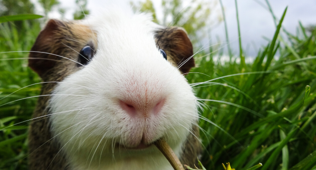 What to feed your Rabbit & Guinea pig friends   Myrtleford Vet   Ovens and Kiewa Veterinary Hospital