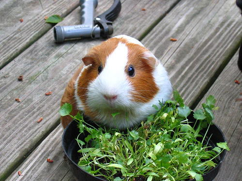 What Can Guinea Pigs Eat   What Can't Guinea Pigs Eat