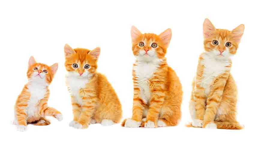 When Do Cats Stop Growing? A Complete Guide To Kitten Growth