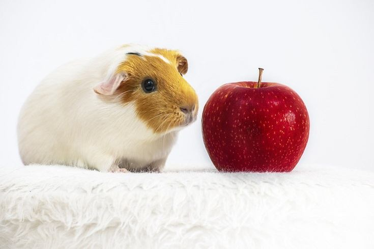 Can Guinea Pigs Eat Apples? What You Need to Know! | Pet Keen