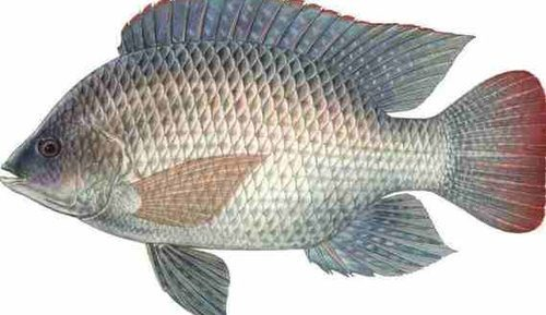 A NOTE ON ST. PETER'S FISH OR WONDER FISH