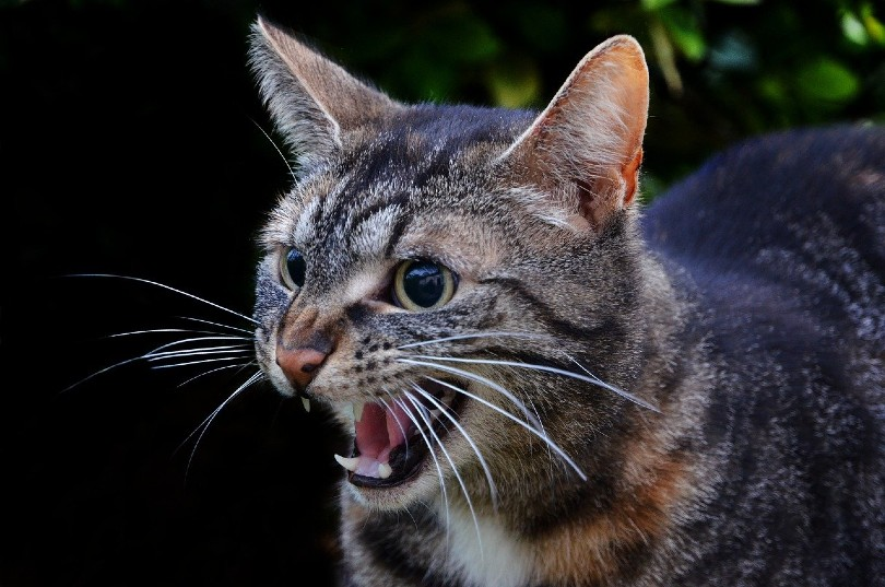 Why Do Cats Hiss? 5 Reasons for This Behavior & What to Do - Excited Cats