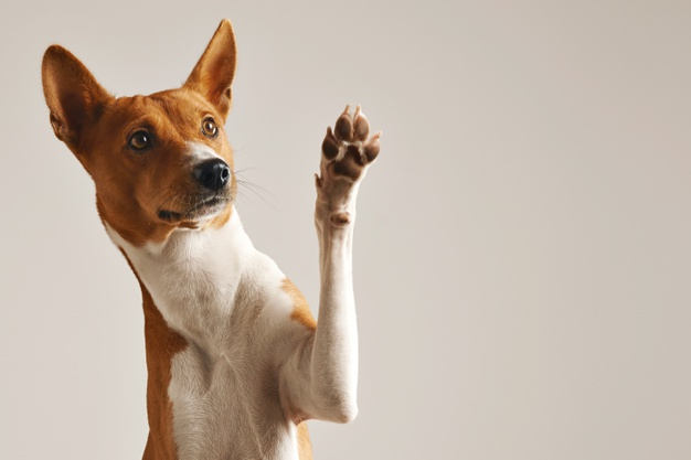 https://www.freepik.com/free-photo/adorable-brown-white-basenji-dog-smiling-giving-high-five-isolated-white_11829591.htm#page=1&query=dog&position=2