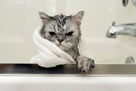 How to bathe your cat - Shinga