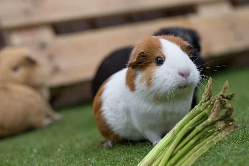 Can guinea pigs eat asparagus? - Ballachy