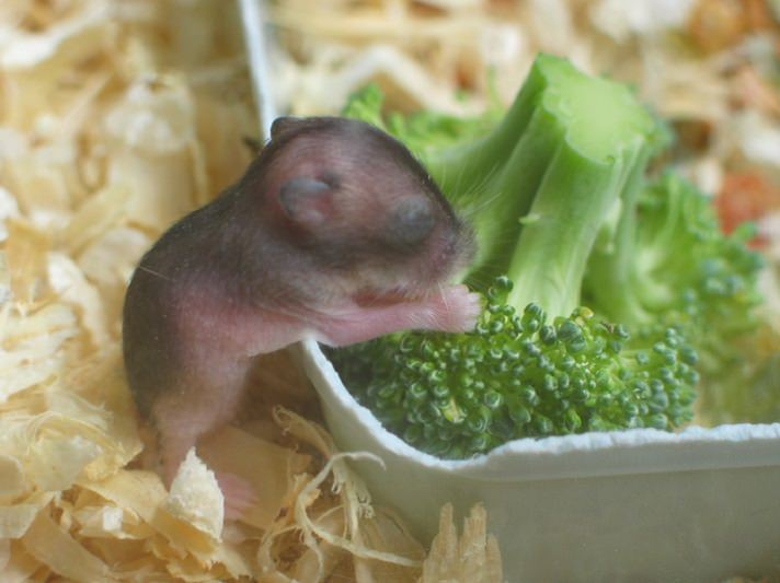How To Feed Baby Hamsters