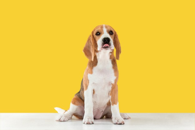 https://www.freepik.com/free-photo/beagle-tricolor-puppy-is-posing_13517288.htm#page=1&query=dog&position=27