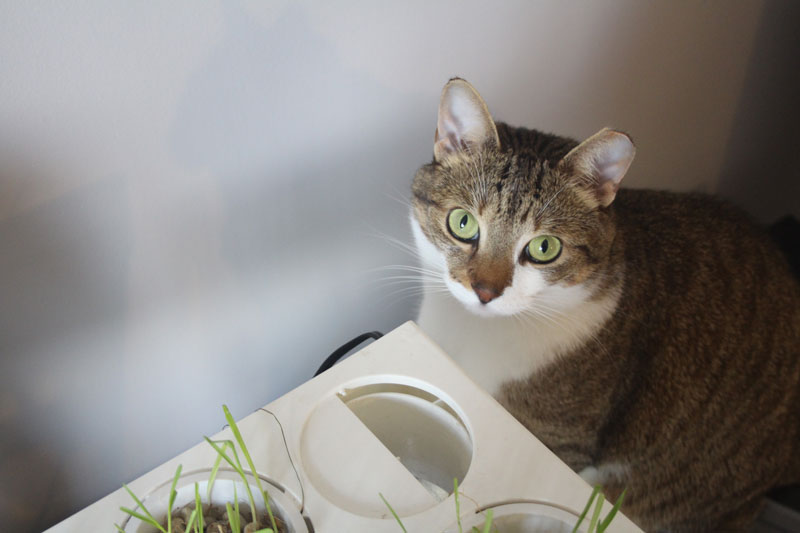 Can Cats Eat (Western) Timothy Hay? Is Hay Safe For My Cat?