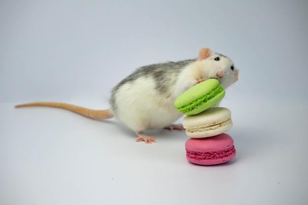 https://www.freepik.com/premium-photo/black-white-rat-sniffs-green-pink-macaroons_11735501.htm#page=1&query=Mice&position=48