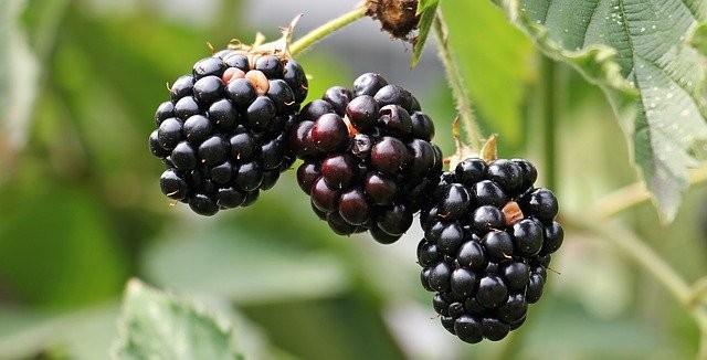 Can Guinea Pigs Eat Blackberries? (Hazards, Serving Size & More) – Guinea Pig 101