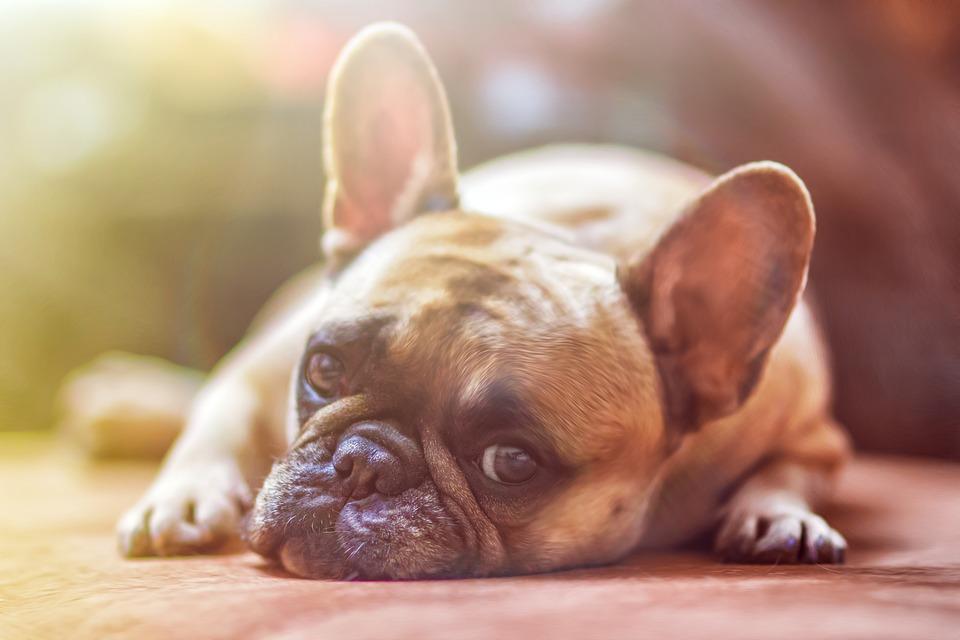 https://pixabay.com/photos/bulldog-dog-pet-animal-1224267/