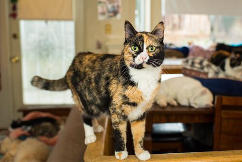 Calico Cats→ Genetics, Personality, Lifespan And Intelligence