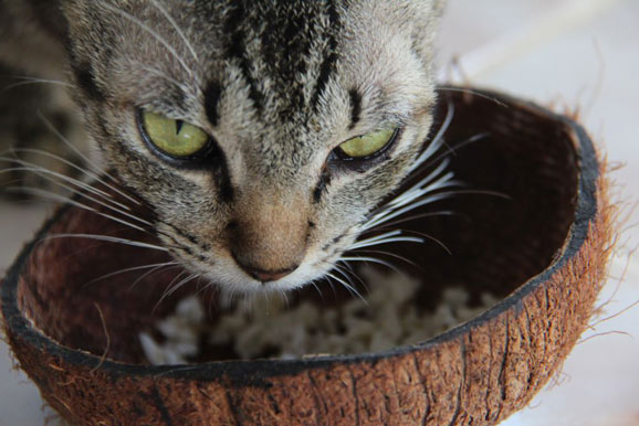 Can Cats Eat Coconut? How to Feed It? - Best Tips for Pets, Baby, Kittchen