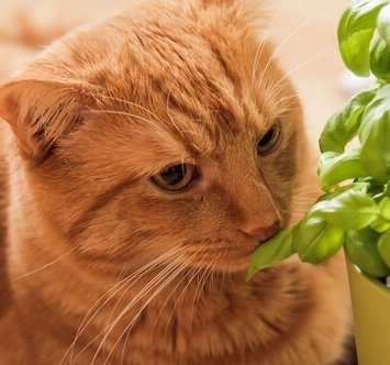 Can Cats Eat Basil? Best Herb For Kitty?
