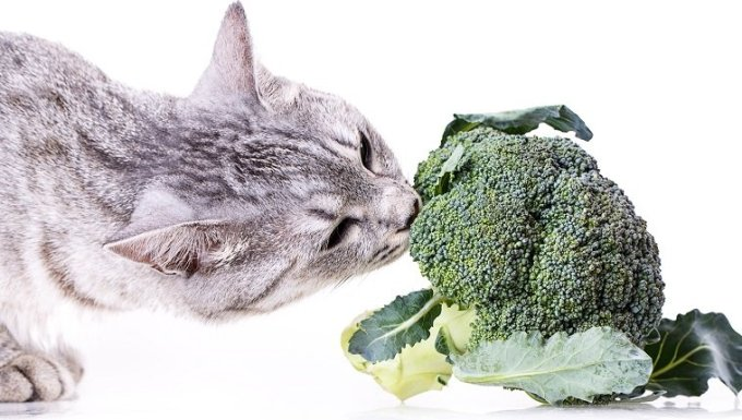 Can Cats Eat Broccoli? Is Broccoli Safe For Cats? - WavePets