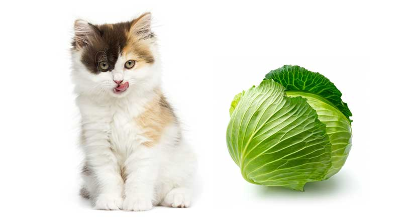Can Cats Eat Cabbage? Is Cabbage Safe for Cats?