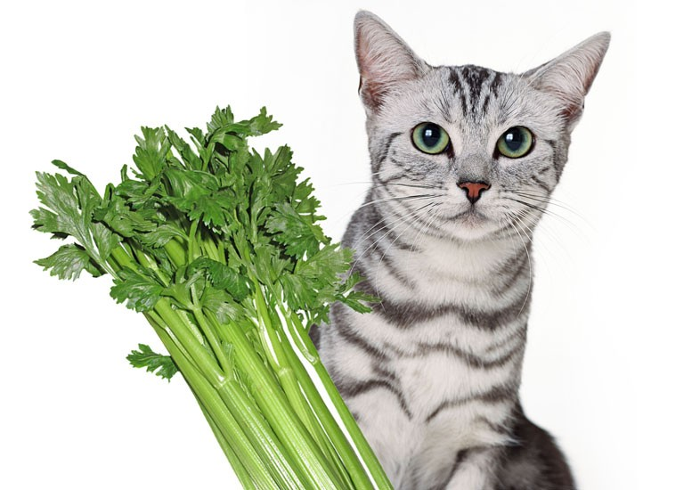 Can Cats Eat Celery? | Important Nutrition Information
