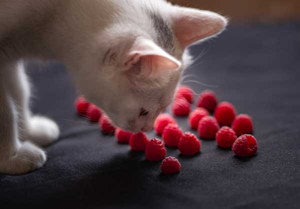 Can Cats Eat Raspberries? Safe or Not? [Best Advice]