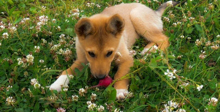 Can dogs eat radishes? | Lively Paws