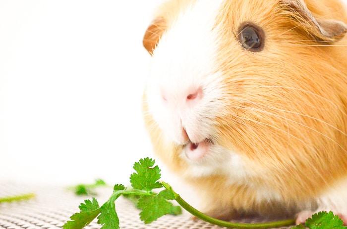 Can Guinea Pigs Eat Cilantro? - Vet Explains Pets