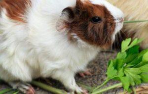 Can Guinea Pigs Have Cilantro   Cilantro For Guinea Pigs