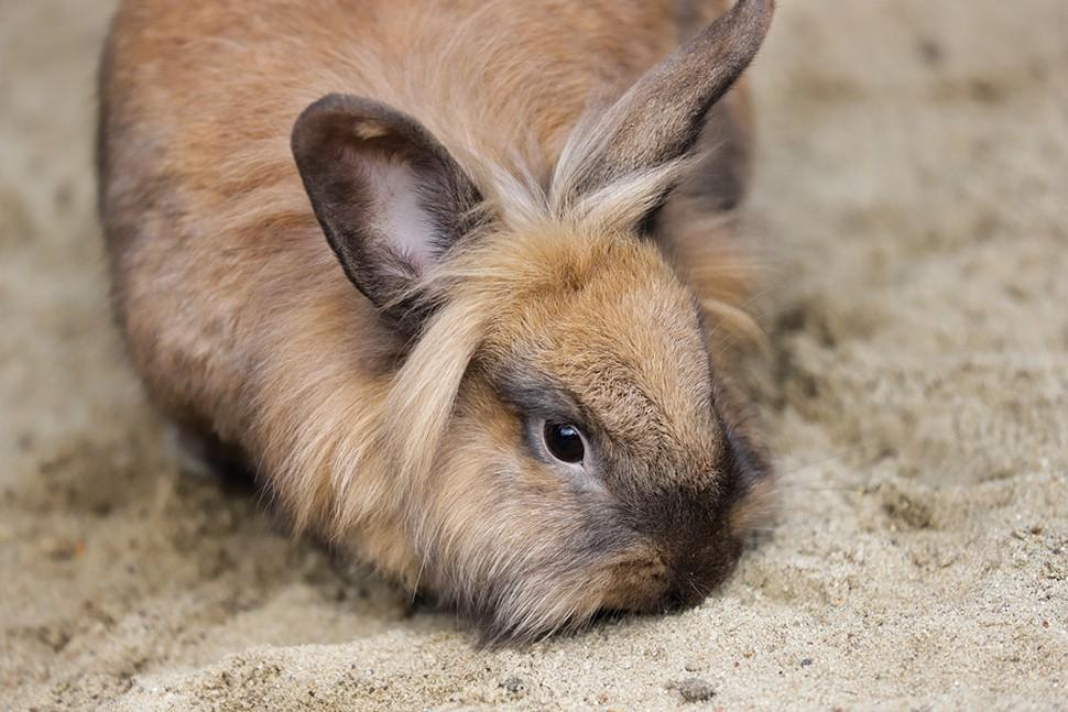Can rabbits eat cauliflower? - Watch the video