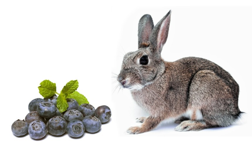 Can Rabbits Eat Blueberries? - Absolutely! But Be Careful How Much!