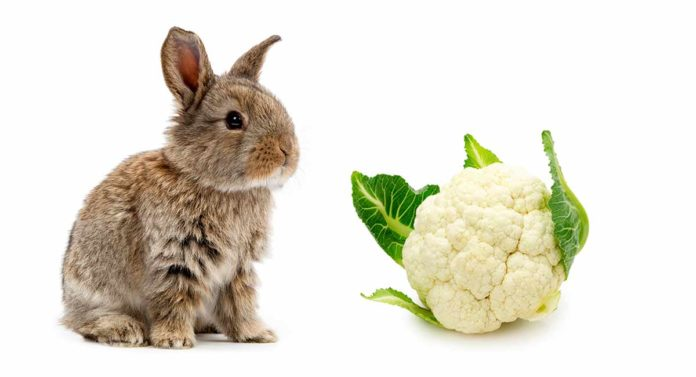Can rabbits eat cauliflower leaves, stalks and florets safely, and how often?