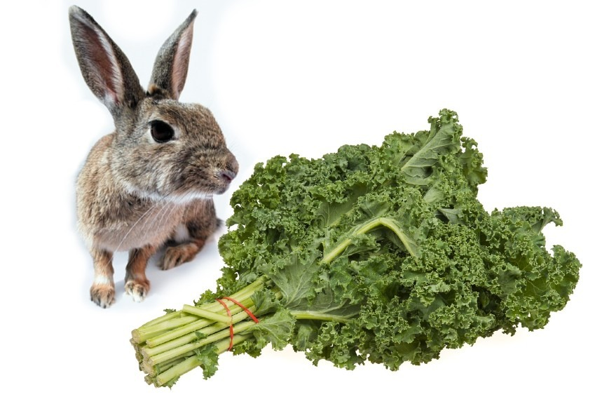 Can Rabbits Eat Kale Or Is It Bad For Rabbits? Discover It Now!