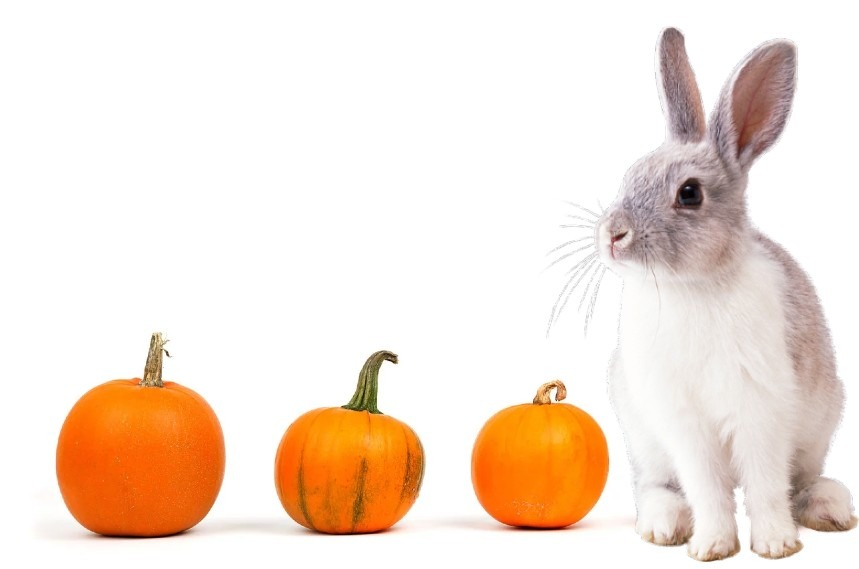 Can Rabbits Eat Pumpkin - Yes They Can, But Be Carefull!