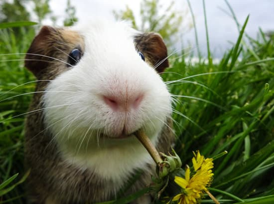 Can Guinea Pigs Eat Parsley? - Neeness