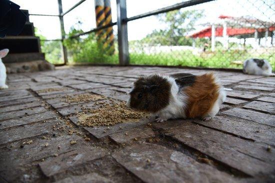 Can Guinea Pigs Eat Applesauce? - Neeness